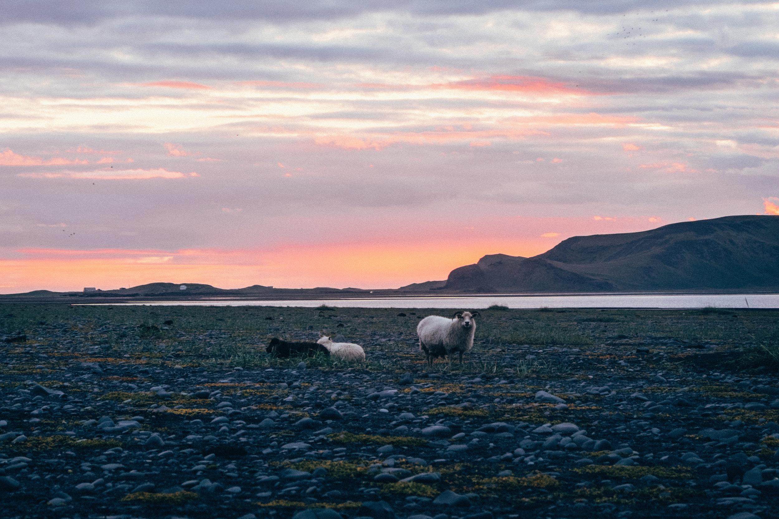 sheep-black-sand-beach-sunset-iceland