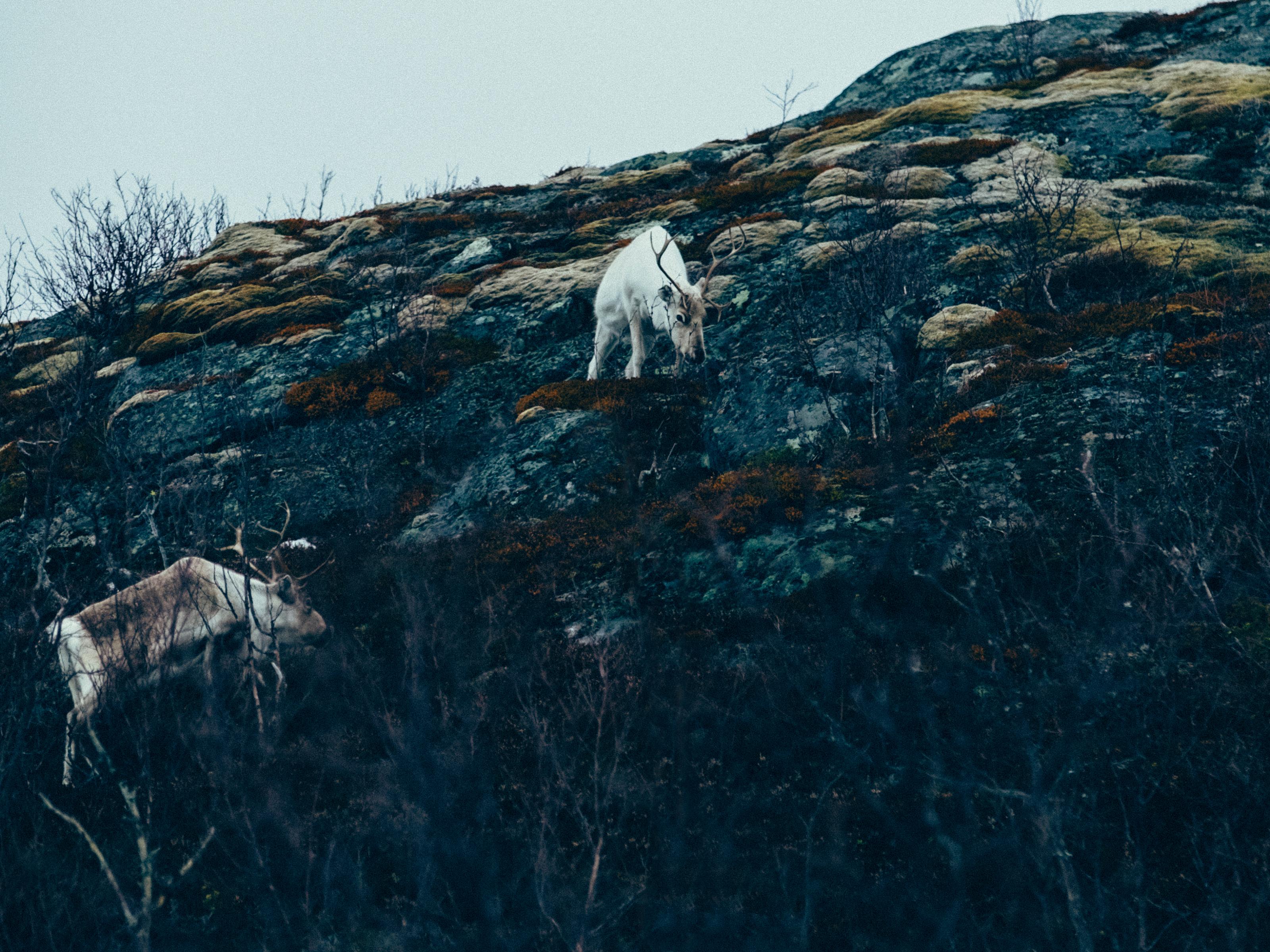Reindeer on Senja Island