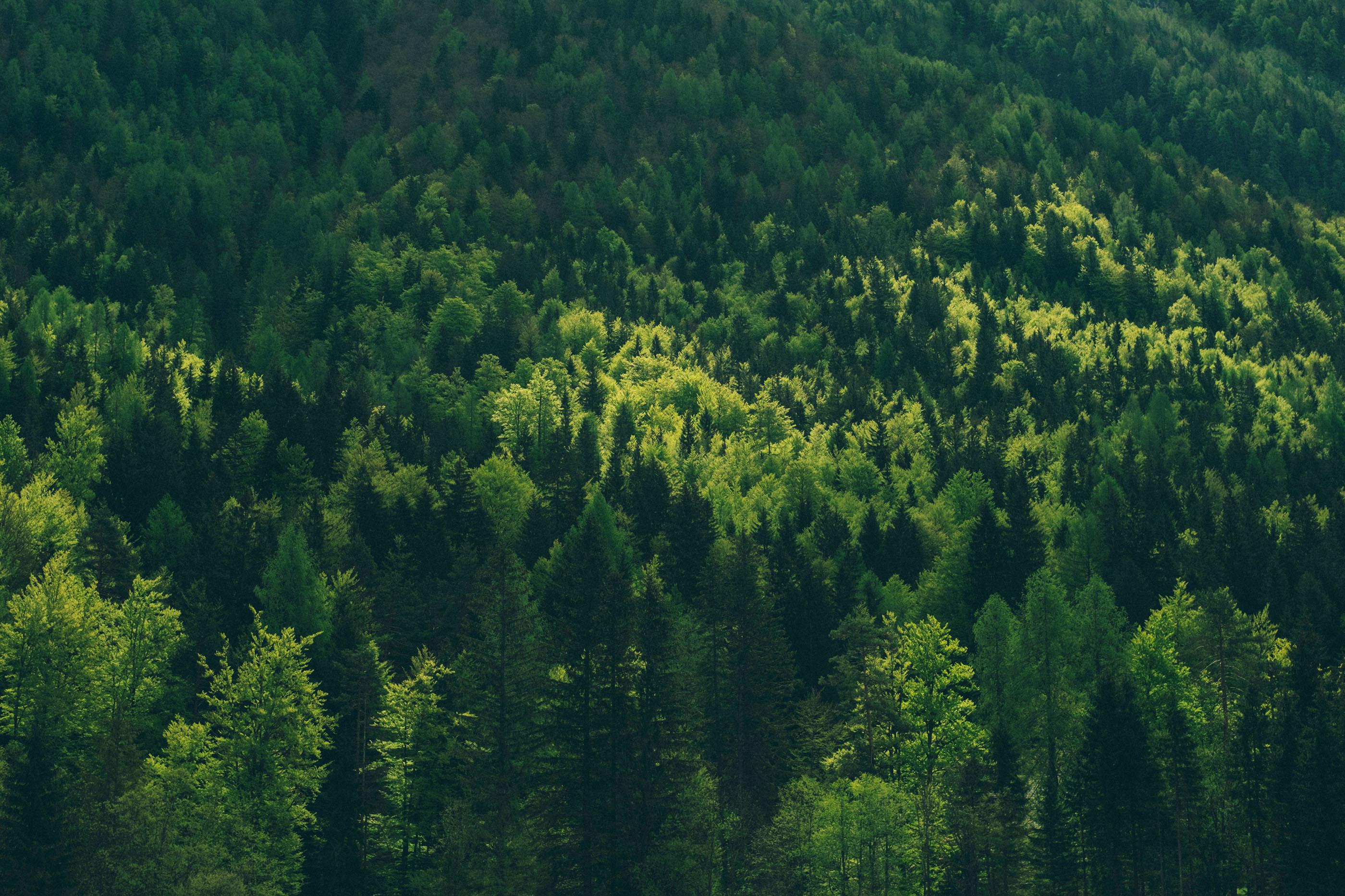 Forrest near Lake Jasna