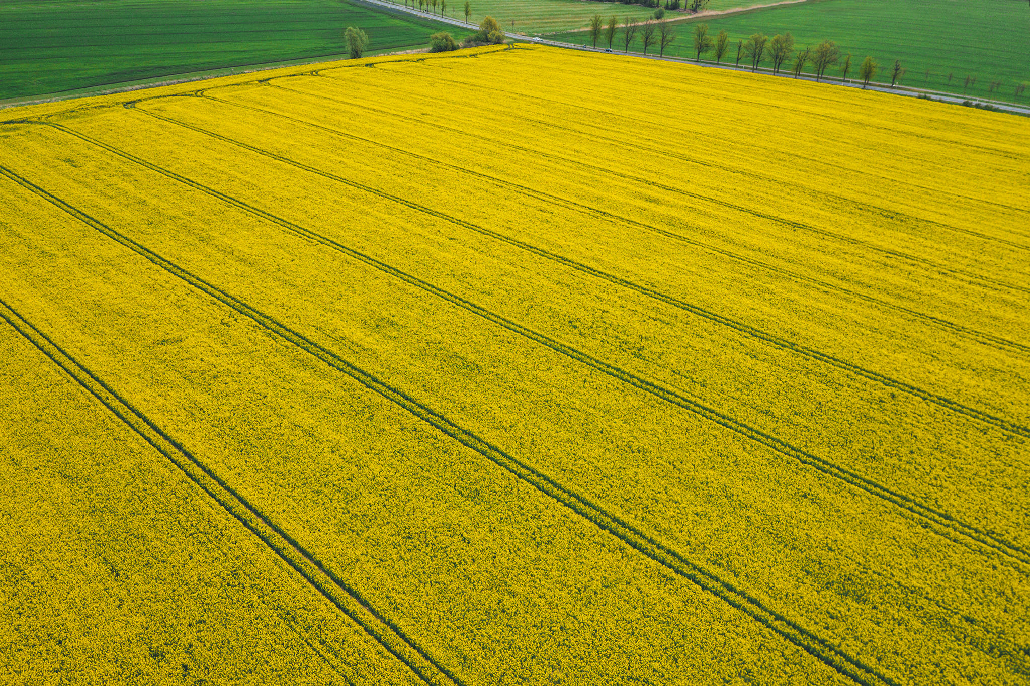 Yellow Canola Field
