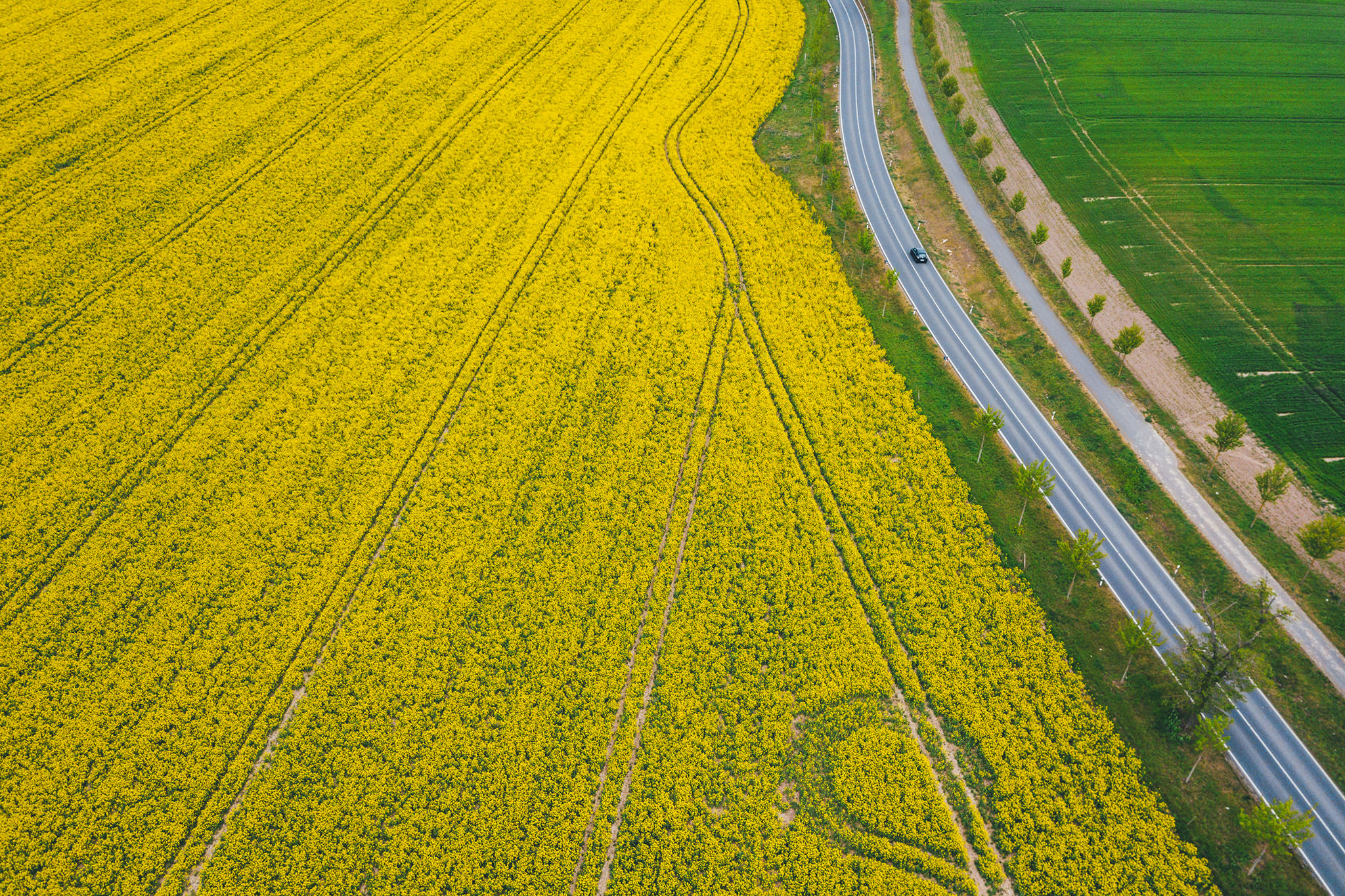 Road next to a large canola field